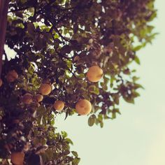 I had a backyard filled with lemons and oranges and avocados and grapefruits  San Diego