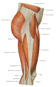 Human Anatomy and Physiology Diagrams: legs muscle diagram ...