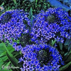 Scilla peruviana is an easy bulb to plant in fall that blooms in early spring!   CalBulbs.com
