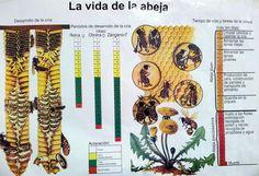 Abejas... y la apicultura | Ecocolmena
