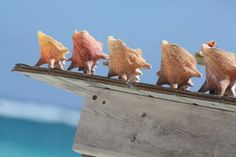 #Seashells in the #Caribbean. Photo by N. Whitfield.