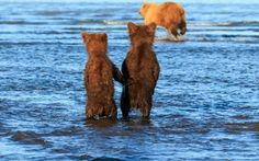 This is the incredible moment two bear cubs held hands in hope for some dinner as they watched their mother hunt for dinner in a stream. Lewis Kemper, 62, was leading a photography tour in Lake Clark National Park in Alaska when the group spotted the animals.