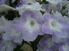 Streptocarpus 'Blue Ice'