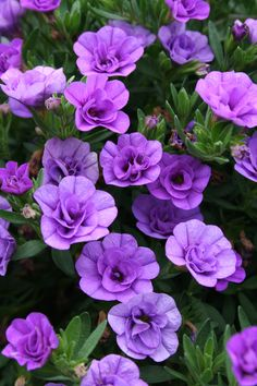 "Super Bells Double Lavender Calibrachoa - a heat tolerant trailing annual that grows 6-10"" tall with GORGEOUS blooms"