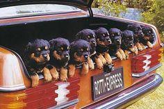 Funny Rottweiler pups