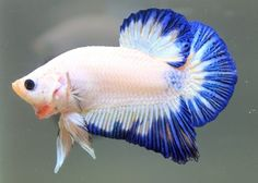 Lovely Plakat Betta - blue and white are the best colors for a Betta