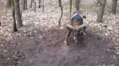 Aw, poor little guy! A man and his son were our for a walk in Poland when they discovered this wild ram with his horn caught on a tree trunk. The Mouflon (wild sheep) was trying with all his might, but just couldn't get unstuck. WATCH: Matthew McConaughey Threw His Baby Down a Cliff to Escape a Ram Attack — Hear His Crazy Story! Rather than just taking the video and uploading it with the hashtag #RamProblems, the man went and helped the ram out. It wasn't an easy job (note the wild animal…