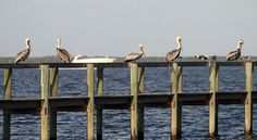 Pelicans and gulls sit on a dock in Sebastian as boaters make their way up and down the Indian River Lagoon