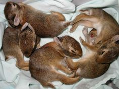 Adorable orphaned baby cottontail rabbits sleep cuddled up in a warm and cozy enclosure.  Make a symbolic adoption today and help these babies get a second chance in the wild.  http://www.torontowildlifecentre.com/adopt-a-baby/