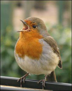 robin bird - Google Search