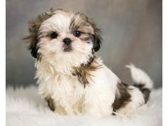 Shih Tzu Puppy For Sale In Ohio Darling Puppies Puppies Shih