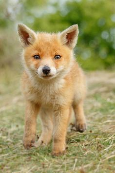 Red Fox Cub by Roeselien Raimond - thrumyeye