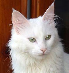 gatos angora atigrados - Buscar con Google