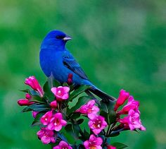Bright Indigo Bunting on bright pink/fuchsia colored flower