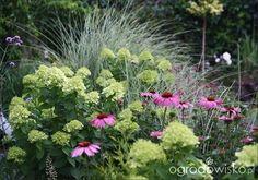 Hortensja + jeżówka - Ewy ogród z futrzakami