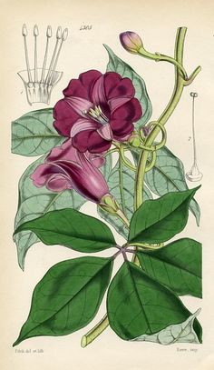 pulchella, Handsome Ipomoea - high resolution image from old book. Botanical Flowers, Botanical Art, Botanical Gardens, Vintage Botanical Prints, Botanical Drawings, Vintage Artwork, Vintage Paintings, Vintage Images, Nature Sketch