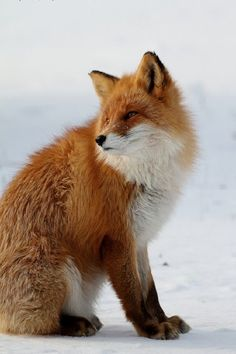 Nice Fox photo -    Crush Cul de Sac