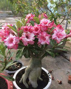 Unusual Flowers, Beautiful Flowers, Dessert Rose Plant, Orquideas Cymbidium, Green Scenery, Christmas Cactus, Desert Plants, Tropical Landscaping, Desert Rose