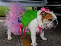 ❤ Stephie in her frills & frock. What kind of bully boy could turn down a sassy bully babe like Stephie? ❤ Posted on Baggy Bulldogs