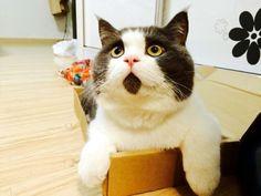 有些酸酸們應該會很好奇為啥本凹會這麼喜歡喵星人,其實本凹喜歡貓咪的原因不只在於牠們的外型相當討喜,同時也是因為貓咪有著千變萬化的花紋,因此才會特別喜歡。之前大檸檬曾經跟大家介紹過有著特殊花紋的喵星人,這些貓咪有著與生俱來就很特殊的花紋,也因此讓牠們成為寵物明星。