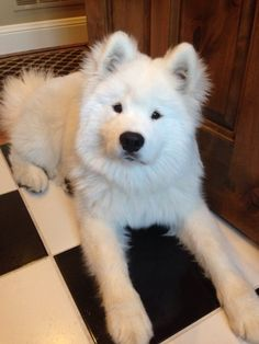 This handsome man who easily wins every award in the category of INSANE FLUFFY CUTENESS. | 19 Samoyeds Who Will Warm Your Freezing Cold Wintery Heart
