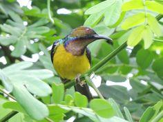 Male Brown - throated Sunbird