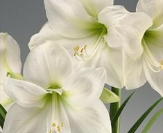 white amaryllis - christmas gift (variety)
