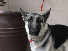 German Shepherd Dog dog for Adoption in pomona, CA. ADN-818458 on PuppyFinder.com Gender: Male. Age: Adult