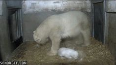 Community Post: The 35 Cutest Polar Bear Gifs On The Internet - What a roly-poly! And he's only one day old. That mom's gonna have her hands full!