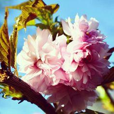Vieron el nuevo post en el blog? Volimteblog.blogspot.com  #cherryblossom #pink