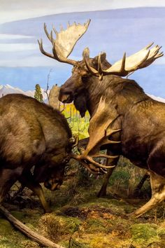 Dueling Moose mounts, cool idea for head mounts rather than full body.