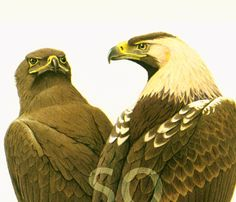 1961 Aigle des steppes, Aigle imperial, illustration oiseau de proie ornithologie Decor mural Nature de la boutique sofrenchvintage sur Etsy