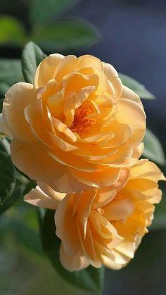 Why Rose Gardening Is So Addictive - Urban Gardening Beautiful Rose Flowers, Pretty Roses, Iris Flowers, Botanical Flowers, Exotic Flowers, Orange Flowers, Yellow Roses, My Flower, Beautiful Flowers