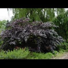 European Beech 'Tortuosa Atro'. A dwarf beech with dark leaves and twisty branches.