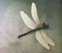 Stunning Dragonflies Artwork For Sale On Fine