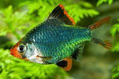 Fun Animals Wiki, Videos, Pictures, Stories: Tiger Barb Fish