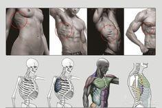 Anatomy Next - Anatomy of Torso: Anatomy & features