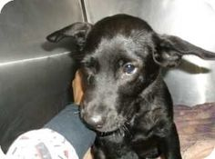 Douglasville, GA - Labrador Retriever/Jack Russell Terrier Mix. Meet Cosmo a Puppy for Adoption.