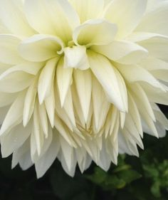 'Cream Dahlias' by Ruth Baker on artflakes.com as poster or art print $16.63