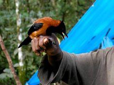 Pitohui são as únicas aves venenosas do planeta.