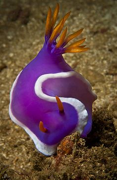 Nudibranch by Macdaza