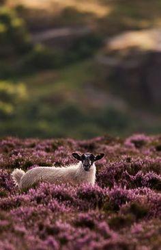Sheep on the heather moorland - Scotland