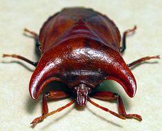 Strange Bull Horn Pronotum Beetle (amissus testaceus)