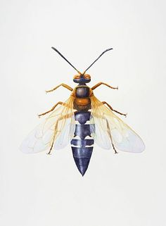 Cicada Killer Wasp-Cicada killer wasp, insect, wasp, bug, Sphecius speciosusbyDinahWells