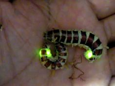 Amazing Insects Vol.1, No.2 : Glowworm No.002 - YouTube