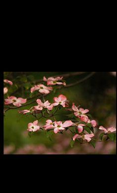 Nancy Robbins Photography - Pink Dogwoods in bloom along a trail in Yosemite National Park. #Yosemite #dogwood #pinkflower