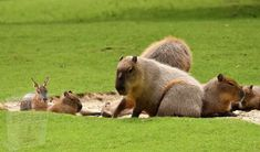 Reptiles, Aggressive Animals, Especie Animal, Cat Species, Dog Varieties, Capybara, Animals Of The World, Cute Faces, Amphibians