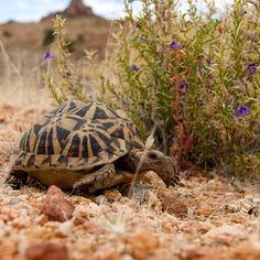 Beautiful Bushmanland Tent Tortoise in Namibia (turtle conservancy)