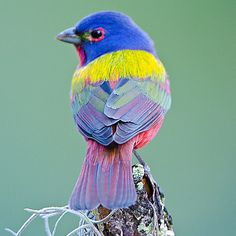 bird watching male painted bunting