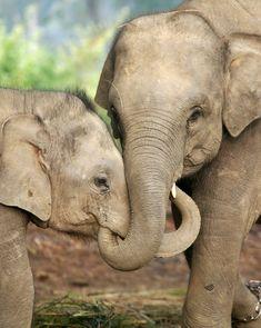 An elephant and her calve sharing a 'hug'    ©WSPA
